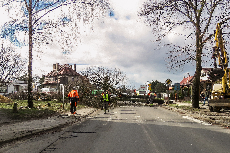 Ścięcie drzewa przy ulicy Szamotulskiej. Autor zdjęcia: Marian Brandyk Tytuł: Drzewo Drzewo przy ul. Szamotulskiej zostało posadzone kilkadziesiąt lat temu. 5 Minut, tyle było potrzebne, by to drzewo ściąć.