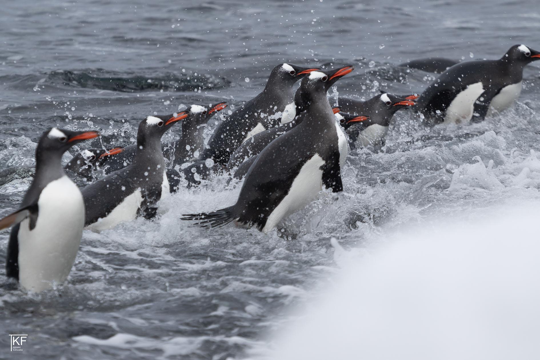 Na zdjęciu kilkanaście pingwinów w wodzie.