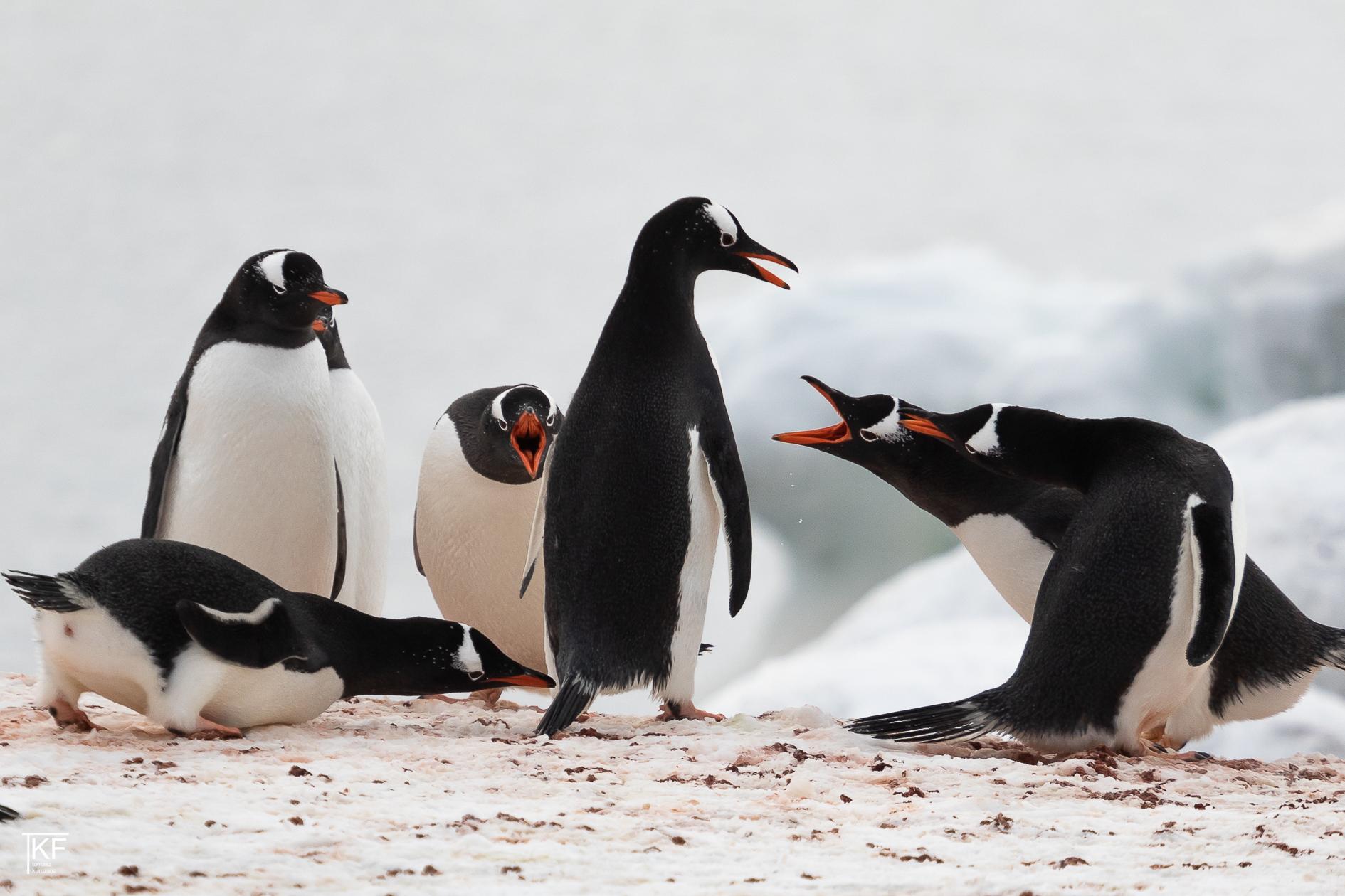Na zdjęciu 6 pingwinów. 3 z nich mają otwarte dzioby. Autor Tomasz Kurczaba.