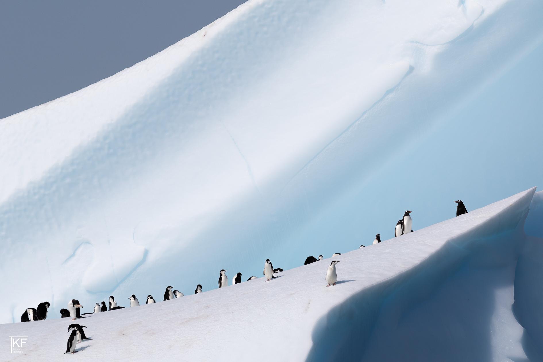 Na zdjęciu kilkanaście pingwinów na śniegu. Autor Tomasz Kurczaba