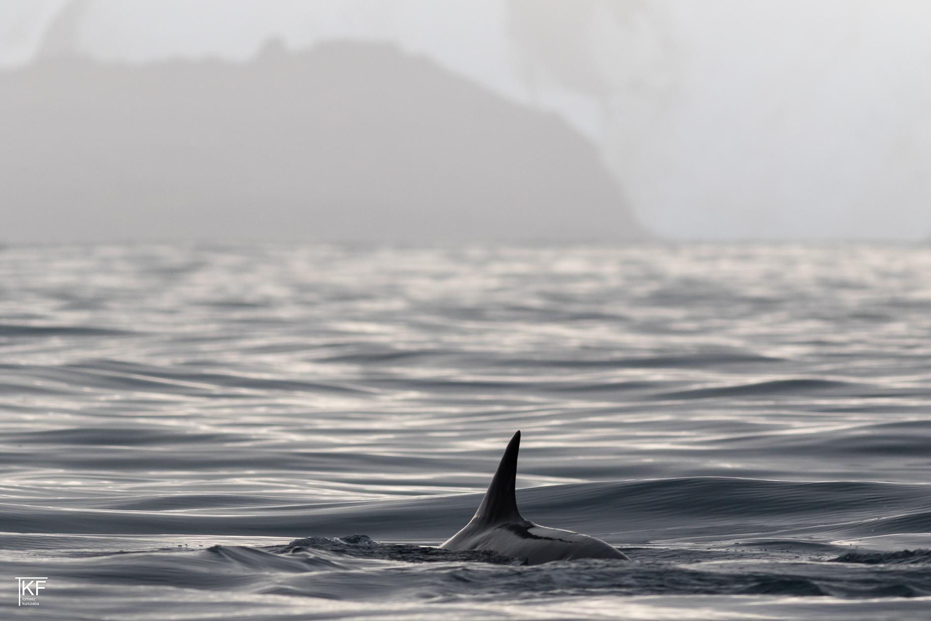 Na zdjęciu płetwa prawdopodobnie delfina widoczna ponad taflą wody. Autor Tomasz Kurczaba